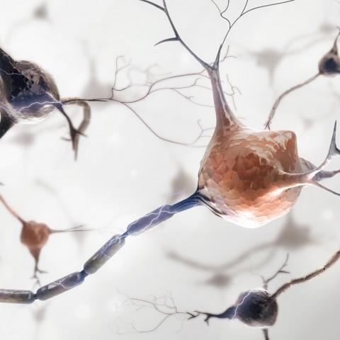 Les facteurs trophiques et neurotrophiques